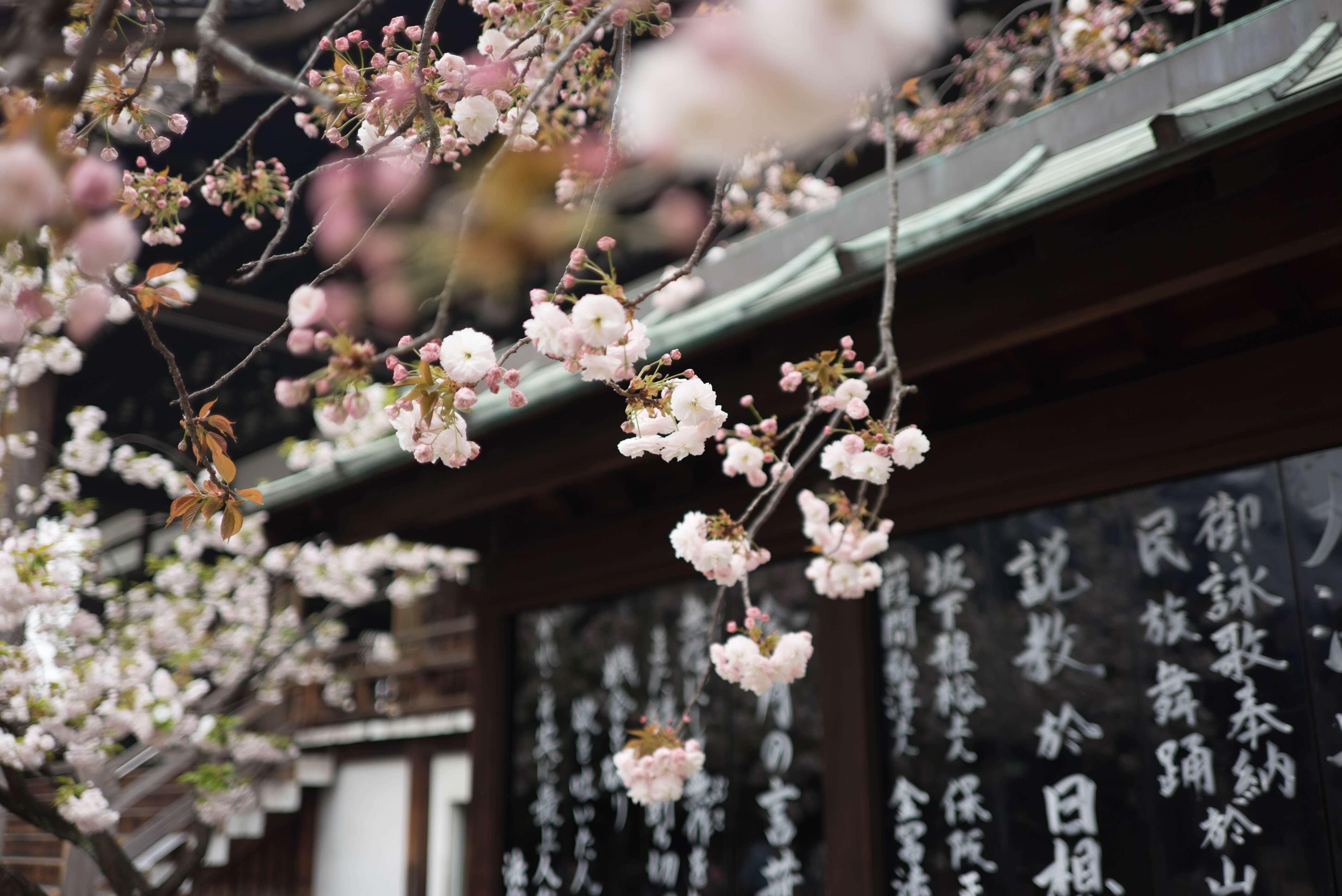 primavera in Giappone
